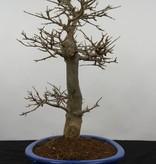 Bonsai Trident maple, Acer buergerianum, no. 5927