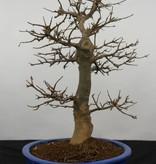 Bonsai Dreispitzahorn, Acer buergerianum, nr. 5927