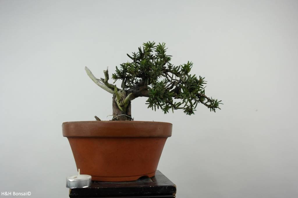 Bonsai Taxus cuspidata, Japanse venijnboom, nr. 6019