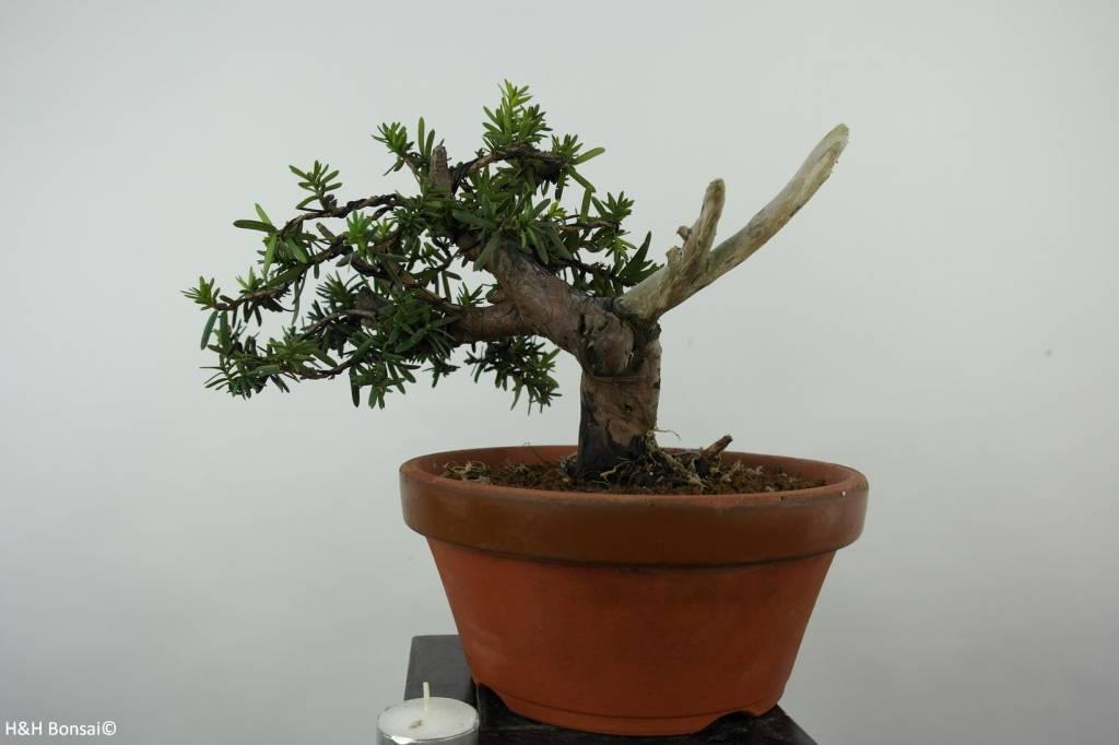 Bonsai Japanische Eibe, Taxus cuspidata, nr. 6019