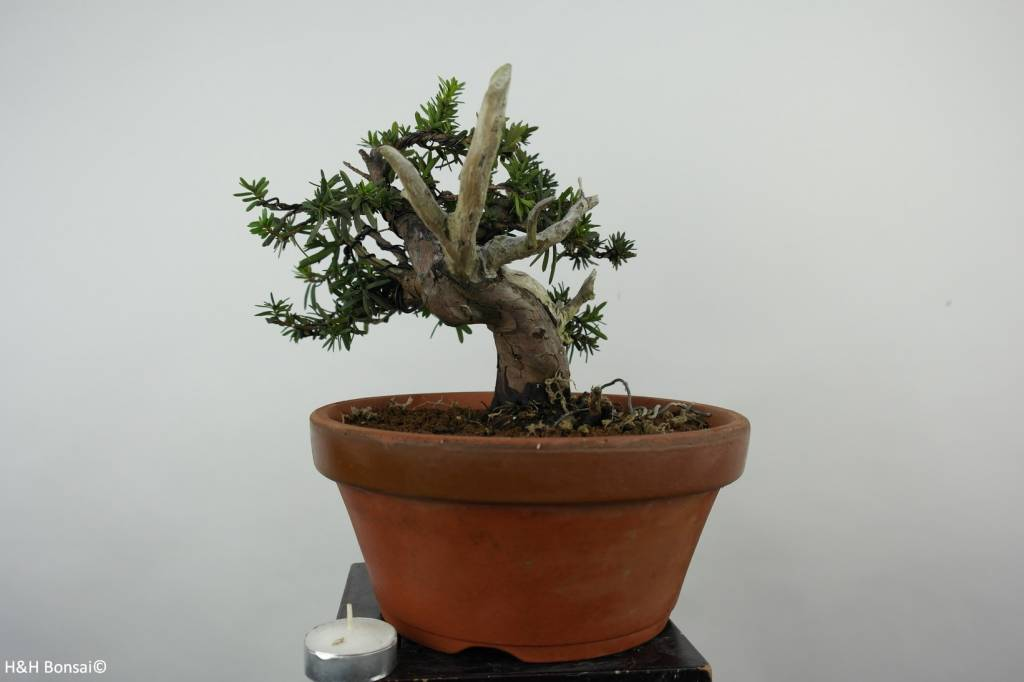 Bonsai Japanese yew, Taxus cuspidata, no. 6019
