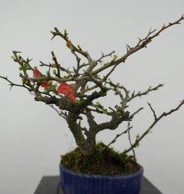 Bonsai Shohin Flowering Quince, Chaenomeles speciosa, no. 6143