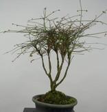 Bonsai Nandina sp., no. 6145