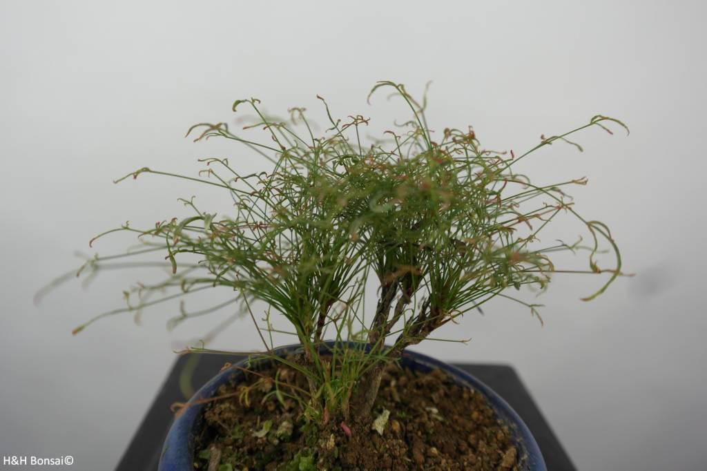 Bonsai Shohin Nandina sp., no. 6147