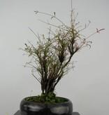 Bonsai Shohin Nandina sp., no. 6148