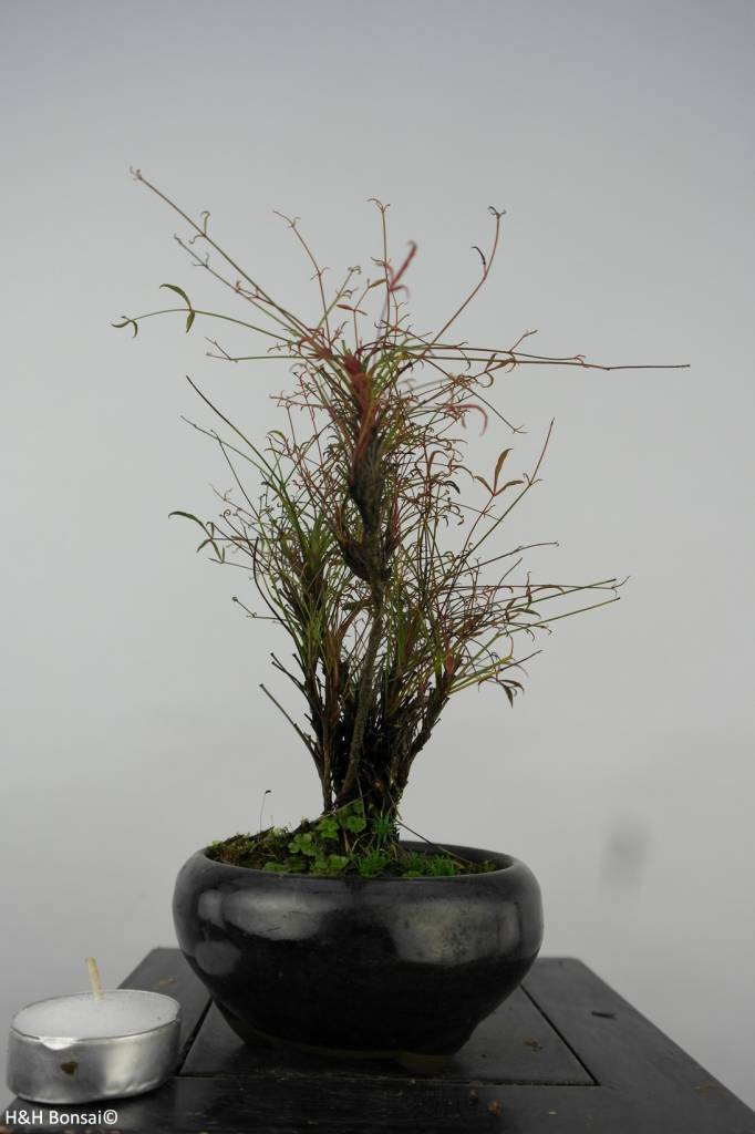 Bonsai Shohin Nandina sp., no. 6148