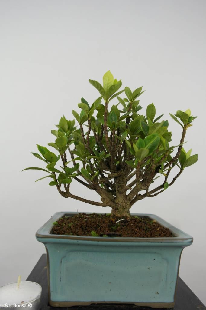 Bonsai Shohin Gardenia, No.