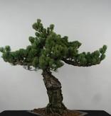 Bonsai Mädchenkiefer, Pinus parviflora, nr. 6156