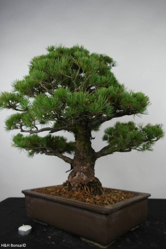 Bonsai Mädchenkiefer, Pinus parviflora, nr. 6177