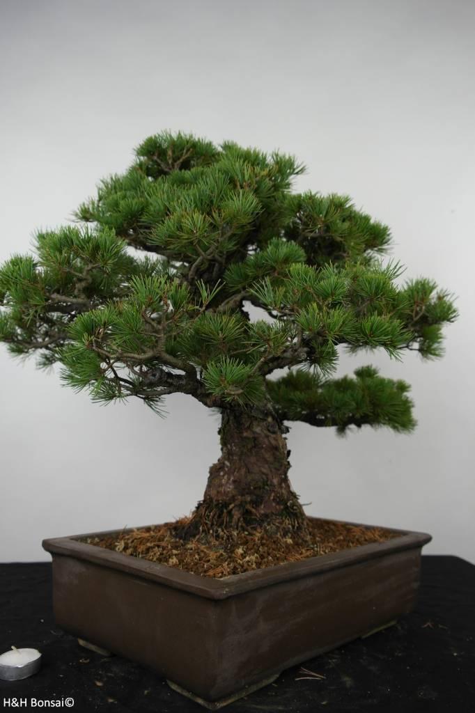 Bonsai White pine, Pinus parviflora, no. 6177