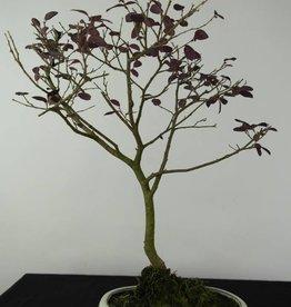 Bonsai Loropetalum, nr. 6215