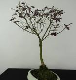 Bonsai Riemenblüte, Loropetalum, nr. 6215