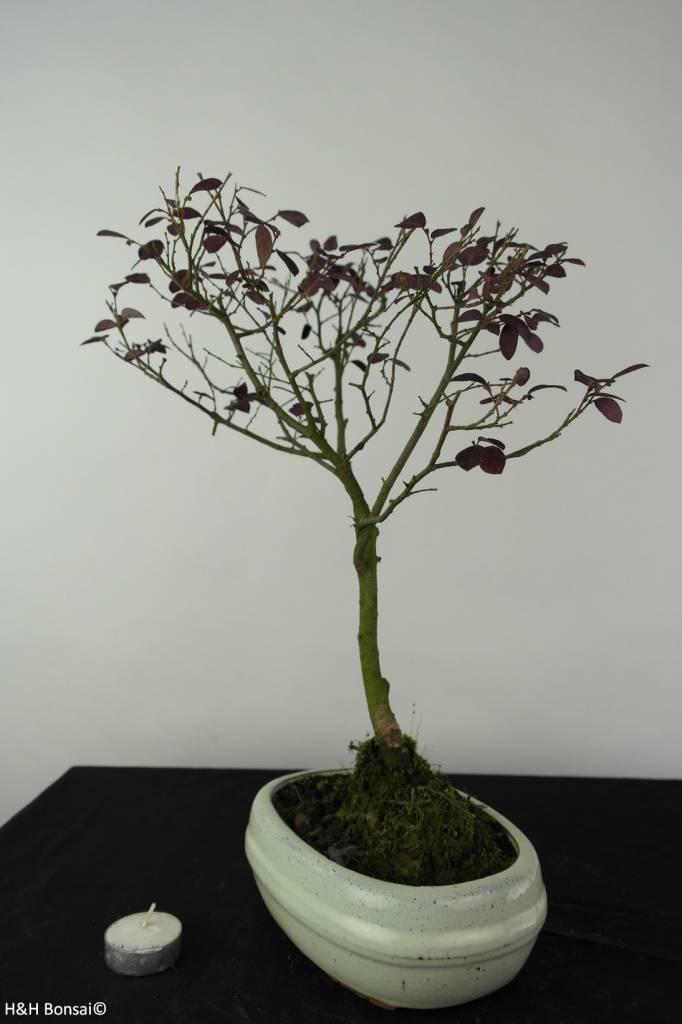 Bonsai Chinese Blush Tree, Loropetalum, no. 6215