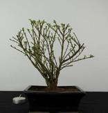 Bonsai Junischnee,Serissa variegata, nr. 6323