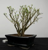 Bonsai Serissa variegata, no. 6323