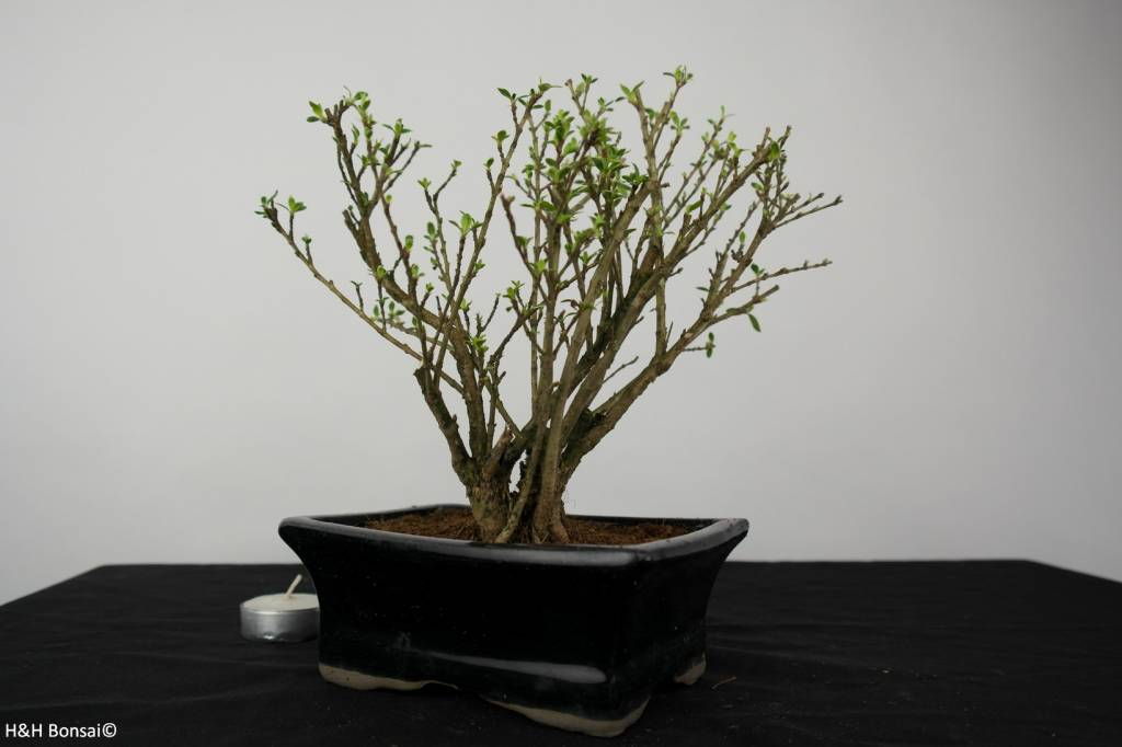 Bonsai Serissa variegata, no. 6323