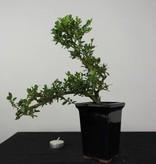 Bonsai Japanische Stechpalme, Ilex crenata, nr. 6381