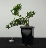 Bonsai Ilex crenata, Japanse hulst, nr. 6381