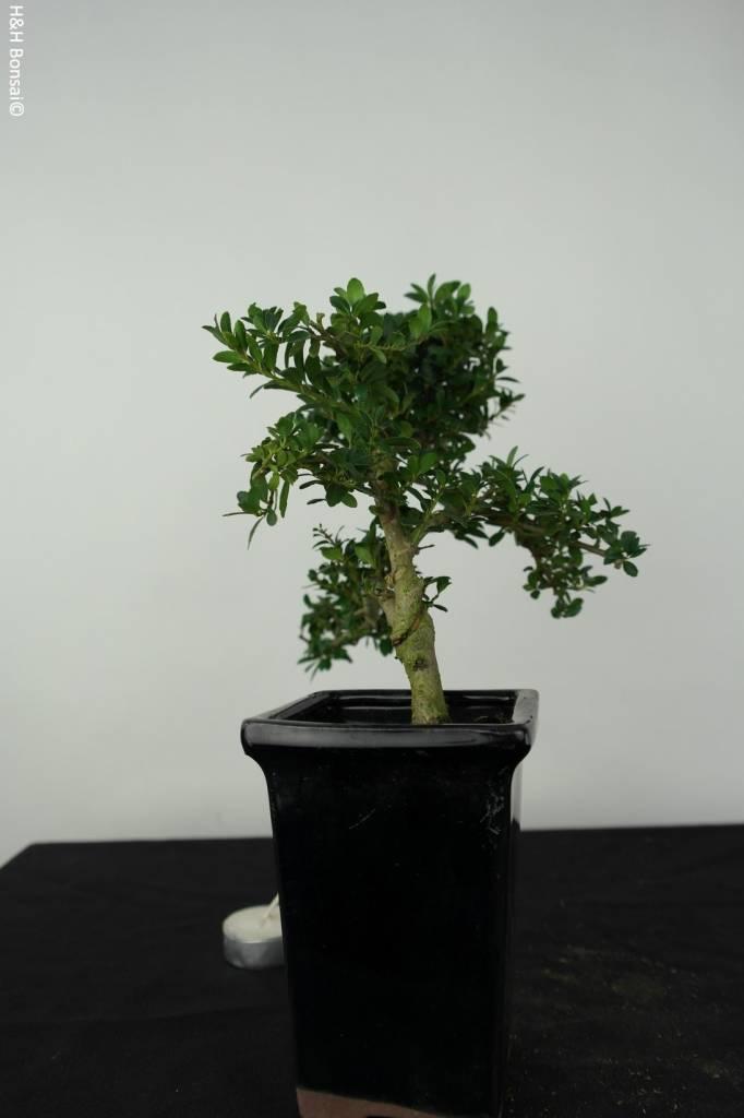 Bonsai Japanese Holly, Ilex crenata, no. 6387