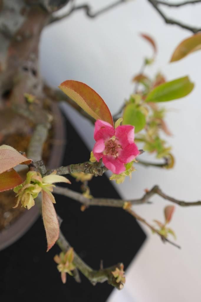 Bonsai Quince, Cydonia oblonga, no. 5573