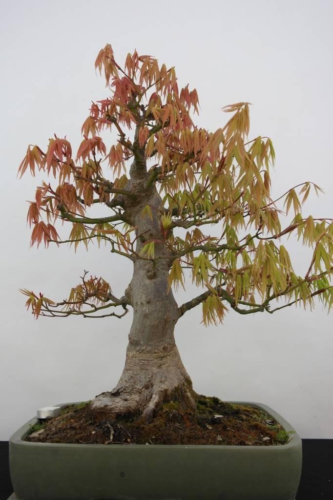 bonsai jap f cherahorn acer palmatum nr 5805 www. Black Bedroom Furniture Sets. Home Design Ideas