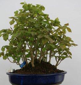 Bonsai Trident maple miyasama, Acer buergerianum miyasama, no. 5739