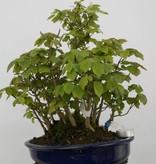 Bonsai Acer buergerianum miyasama, nr. 5739