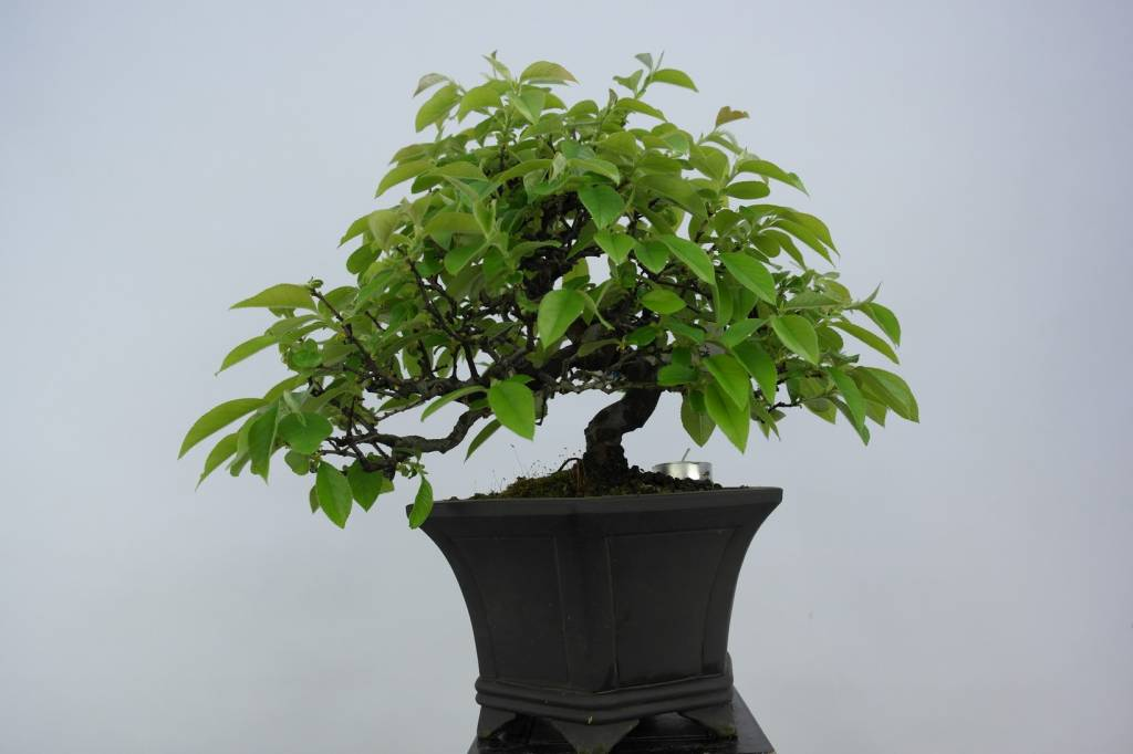 Bonsai Quince, Cydonia oblonga, no. 5661