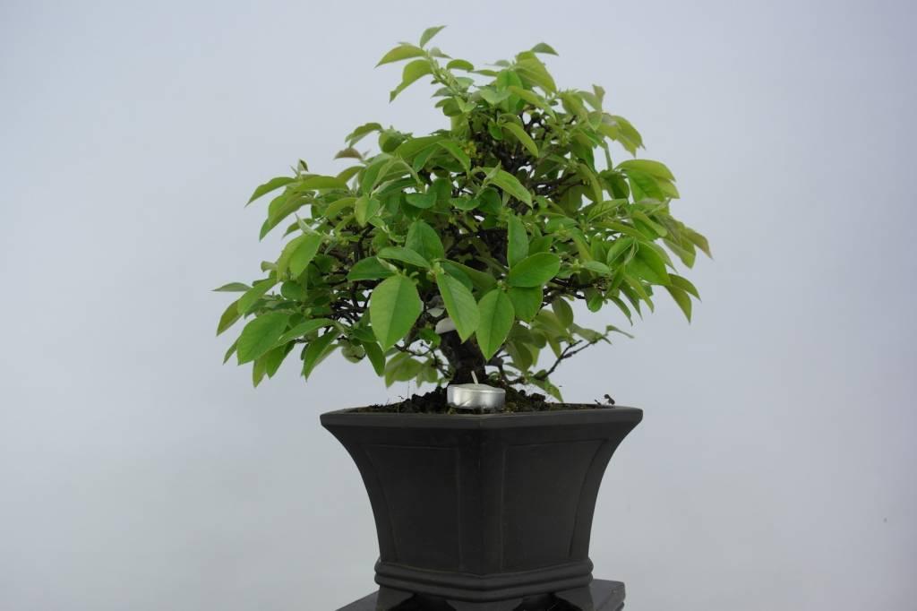 Bonsai Cydonia oblonga, Kweepeer, nr. 5661