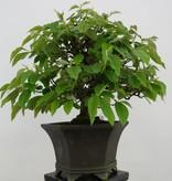 Bonsai Cydonia oblonga, Kweepeer, nr. 5662