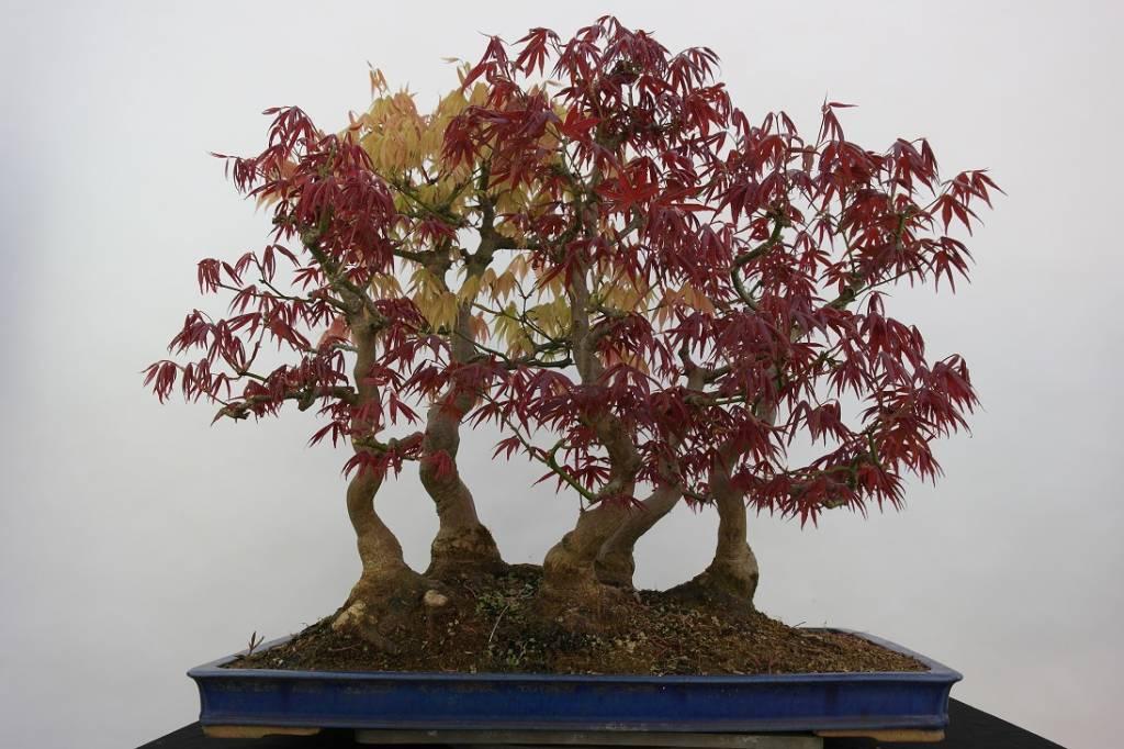 Bonsai Acer palmatum, Japanse esdoorn, nr. 5850