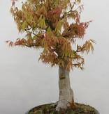 Bonsai Acer palmatum, Japanse esdoorn, nr. 5232