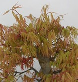 Bonsai Japanese Maple, Acer palmatum, no. 5232