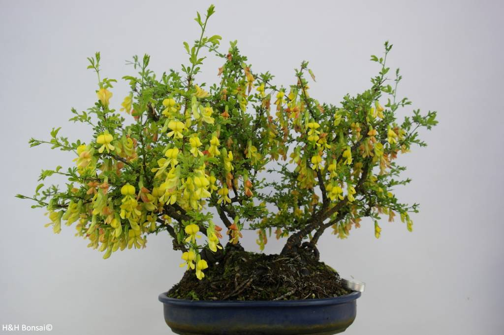 Bonsai Siberian pea-tree, Caragana sp., group, no. 6403