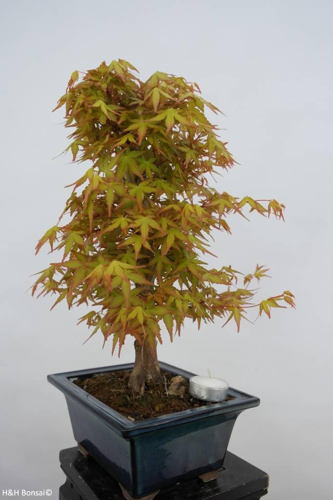 Bonsai Acer palmatum katsura, Japanse esdoorn, nr. 6405