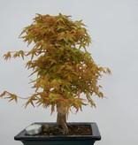 Bonsai Japanese Maple katsura, Acer palmatum katsura, no. 6405