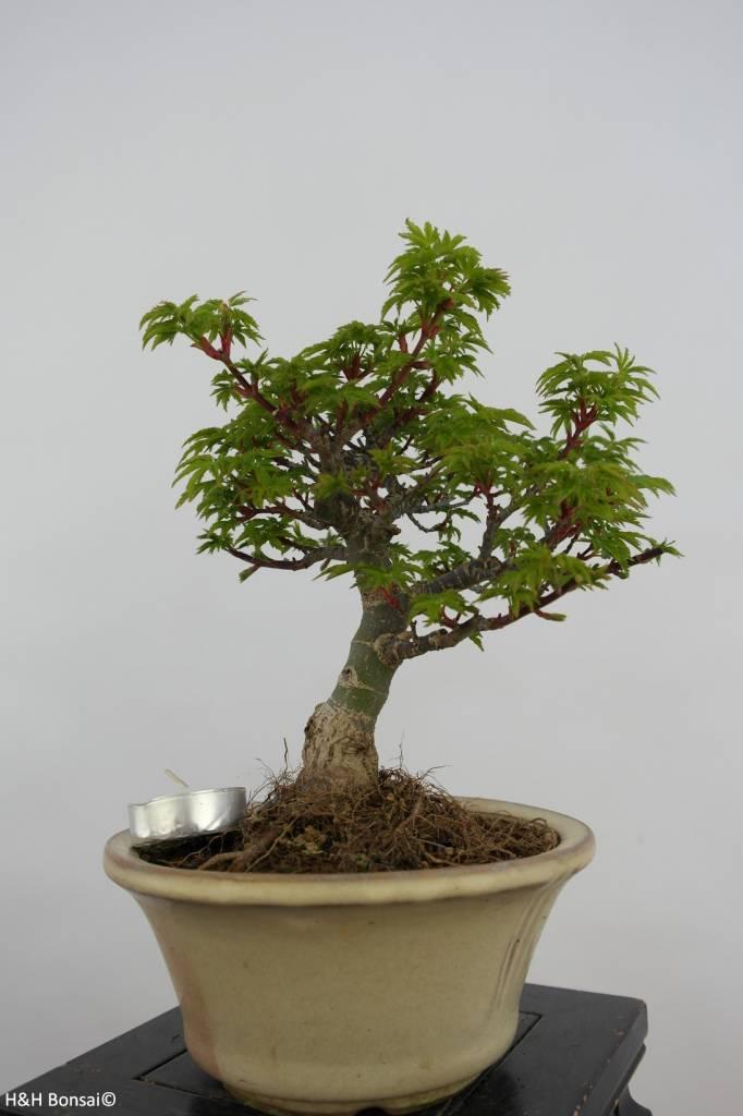 Bonsai Acer palmatum shishigashira, Japanse esdoorn, nr. 6414