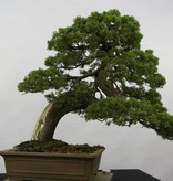 Bonsai Juniperus chinensis itoigawa, Jeneverbes, nr. 5178