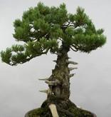 Bonsai Mädchenkiefer, Pinus penthaphylla, nr. 5502