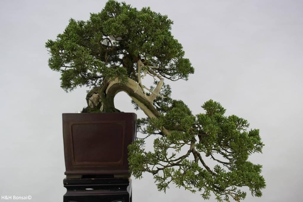Bonsai Juniperus chinensis, Jeneverbes, nr. 5798