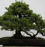 Bonsai Needle Juniper, Juniperus rigida, no. 5144