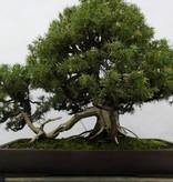 Bonsai Juniperus rigida, Jeneverbes, nr. 5144