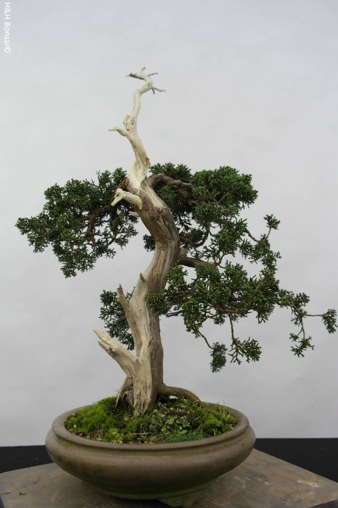 Bonsai Chin. Wacholder, Juniperus chinensis, nr. 5799