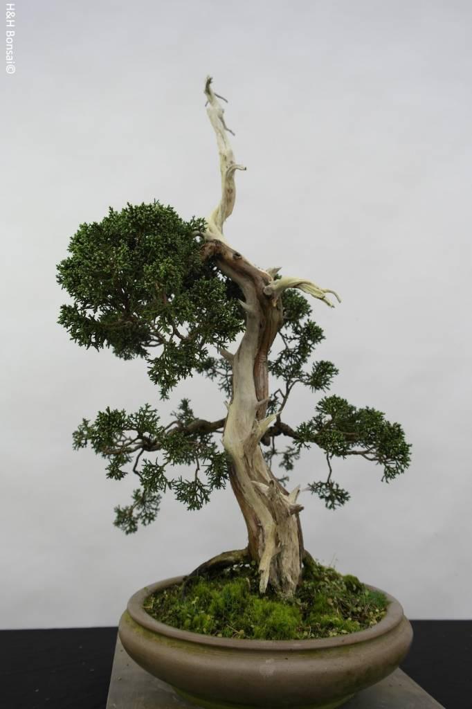 Bonsai Juniperus chinensis, Jeneverbes, nr. 5799