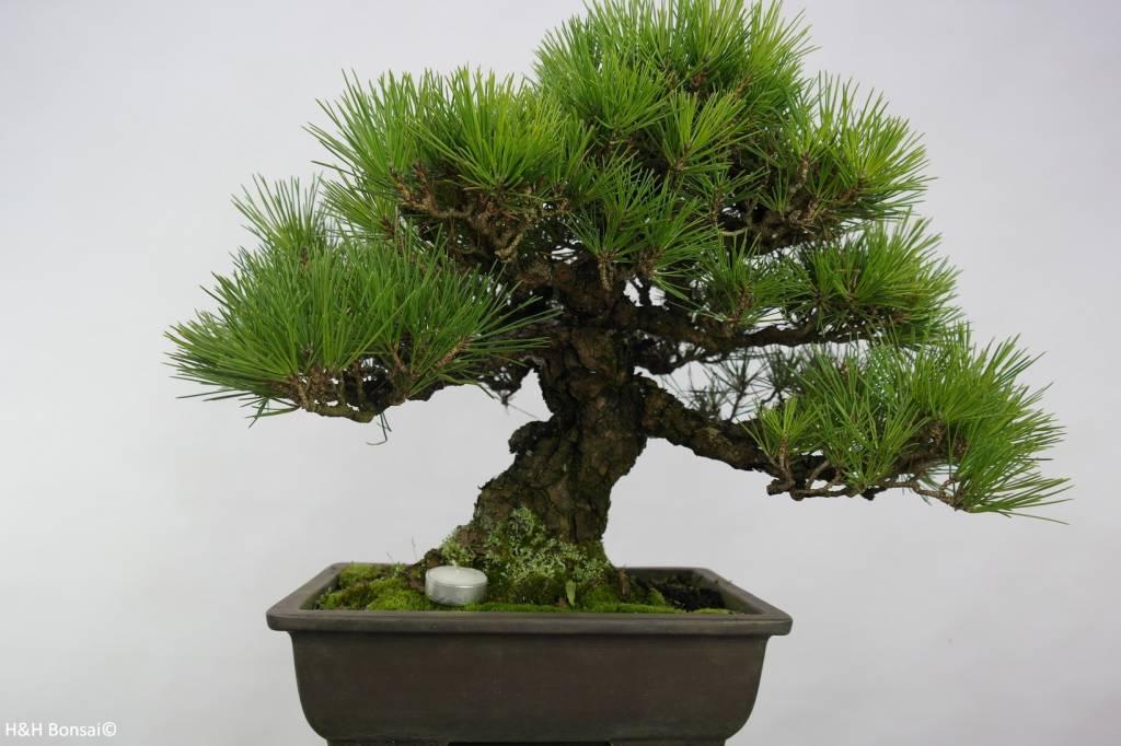 Bonsai Schwarzkiefer, Pinus thunbergii, nr. 5505