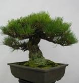 Bonsai Pinus thunbergii, Japanse Zwarte den, nr. 5505