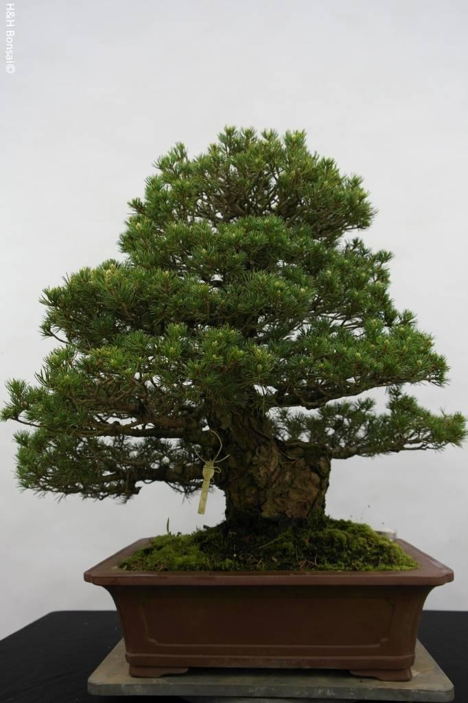 Bonsai Pinus parviflora kokonoe, Japanse witte den, nr. 5260
