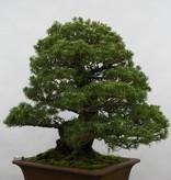 Bonsai White pine kokonoe, Pinus parviflora kokonoe, no. 5260