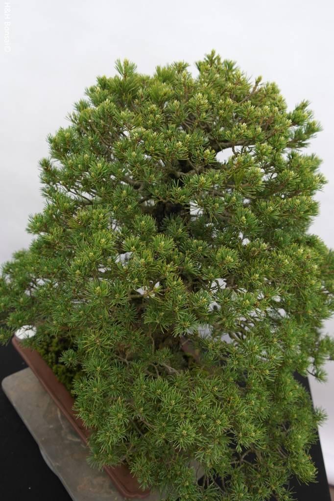 Bonsai Mädchenkiefer kokonoe, Pinus parviflora kokonoe, nr. 5260