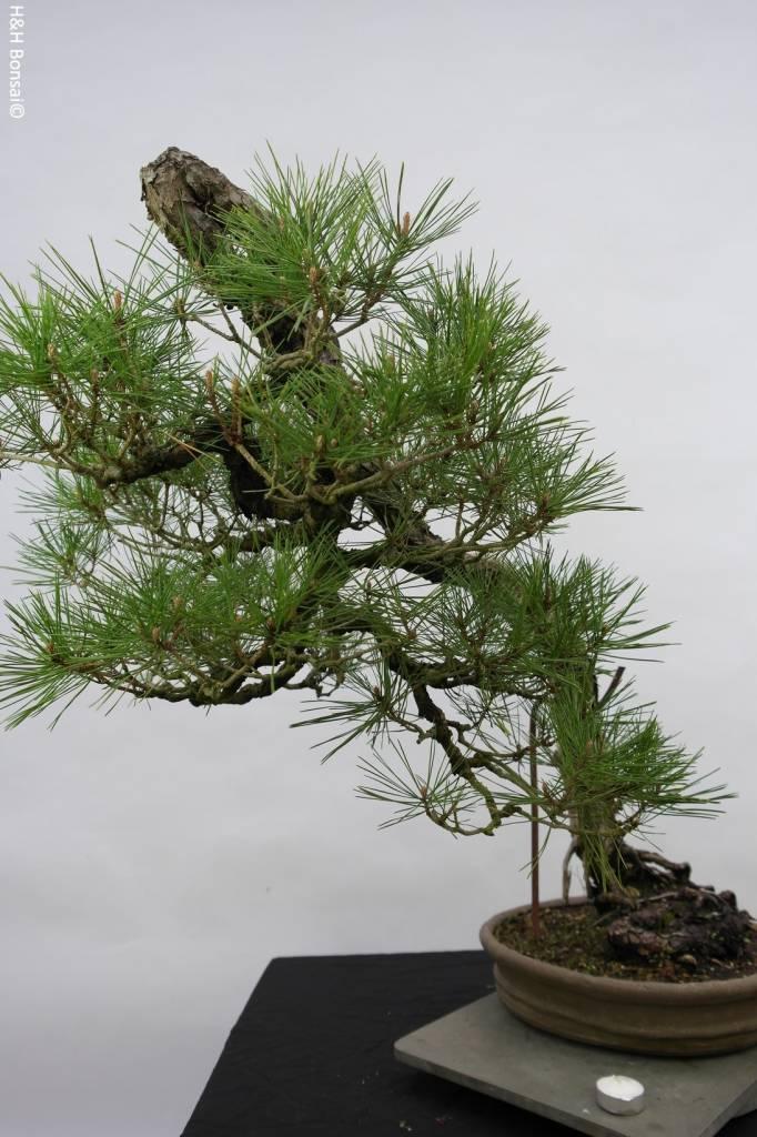 Bonsai Jap. Rotkiefer, Pinus densiflora, nr. 5171